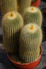 Close Shot Of A Cactus Plant, Cameron