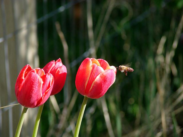 [5.1.07.tulip.bee.2[1]]