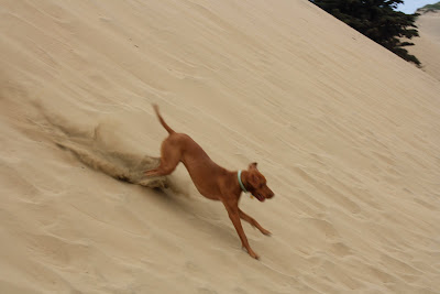 Vizsla running in sand