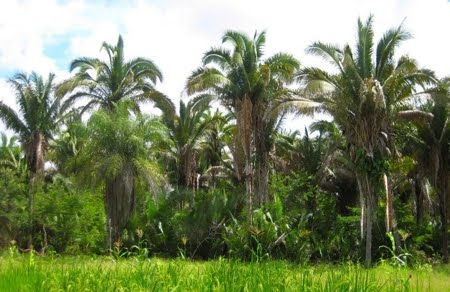 palmeiras babaçu