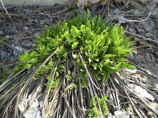 Another wild horseradish plant