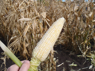 Fresh-picked corn on the cob
