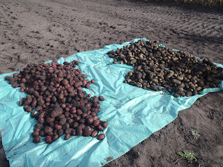 All the potatoes, spread on a tarp