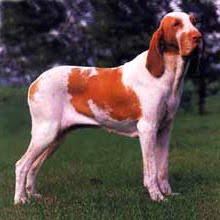 ITALIAN POINTING DOG