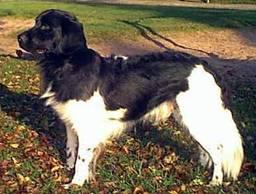 FRISIAN POINTING DOG