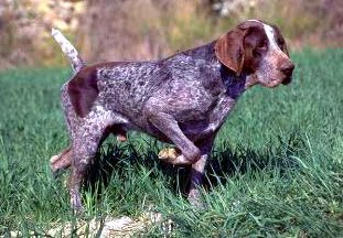 BURGOS POINTING DOG