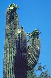[Saguaro+Cactus]