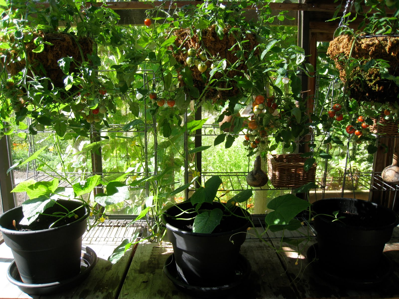 How much to water tomatoes in containers - Like Most People I Know I Water My Containers By Hand I Ve Found A System That Seems To Work Really Well I Put Most Of My Tumbler Tomatoes In Hanging