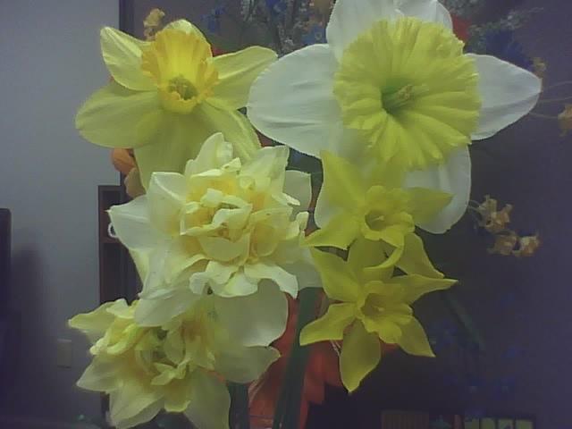 [daffodils]