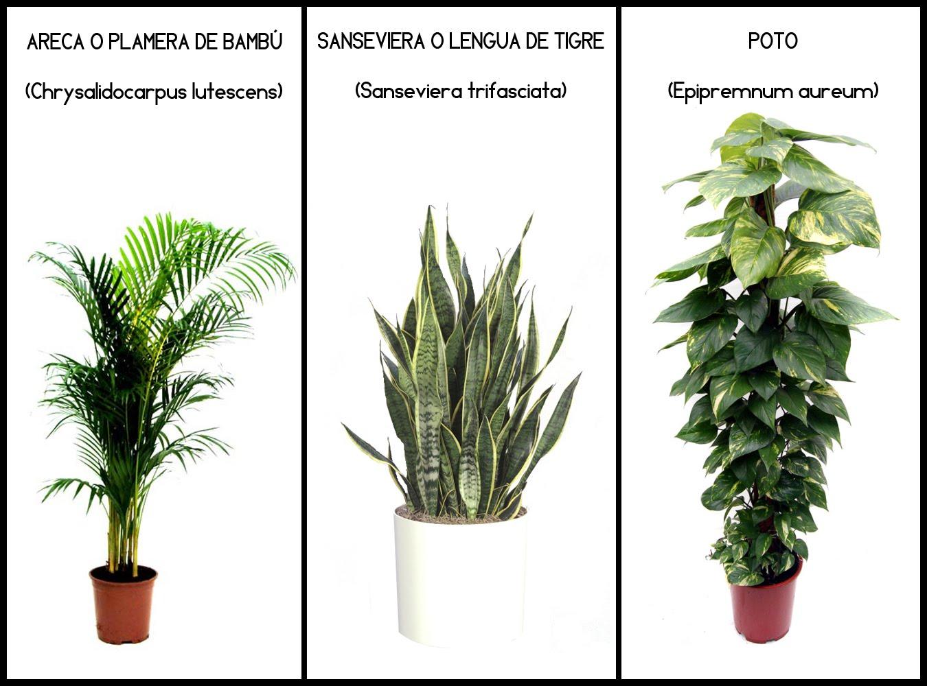 Plantas Que Limpian El Aire Variedades De Potus With Plantas Que  ~ Plantas Que Limpian El Ambiente