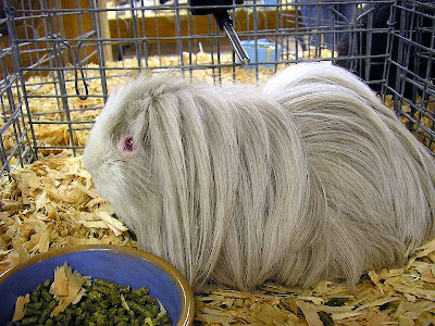 Curly Long Haired Guinea Pig. White crested guinea pigs must