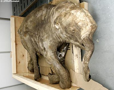 Ditemukan Bayi Gajah Purba 37000 Tahun [ www.BlogApaAja.com ]