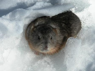 Legend of the Lemmings picture image pic photo gallery in nature phenomena blog in the world