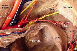 Anatomy , pelvic vessels 2