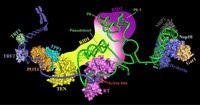 Telomerase is a  Combination of  a Complex Enzyme (hTR) & a Protein Component (hTERT)
