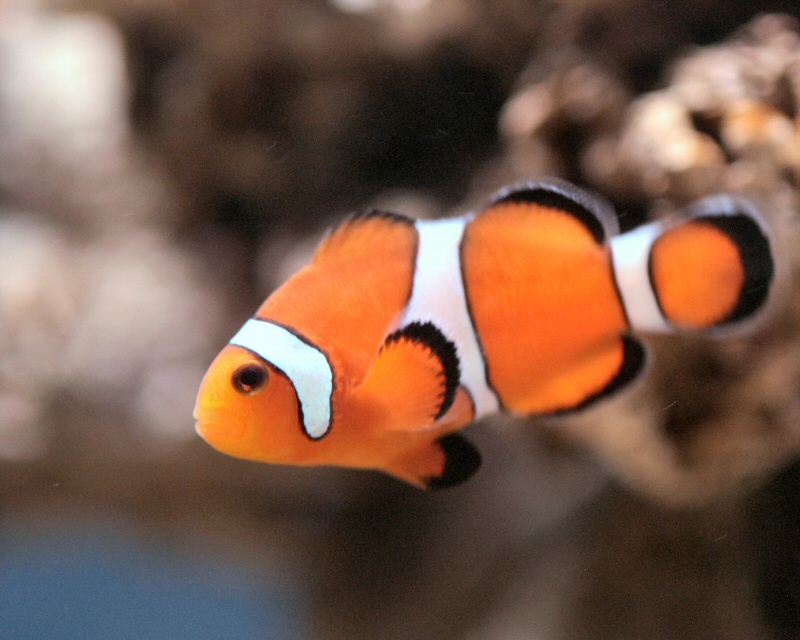 Totally random in nyc jan 25 2011 for Freshwater clown fish