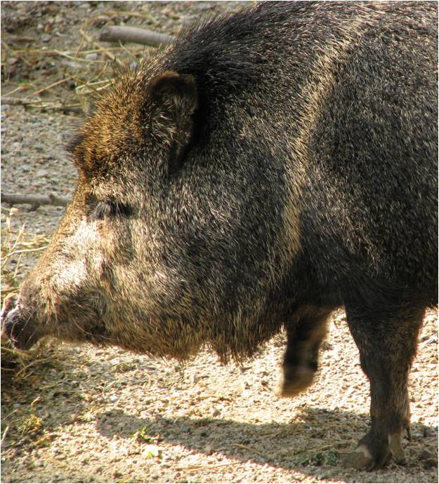 Beasts In A Populous City Peccary Addendum