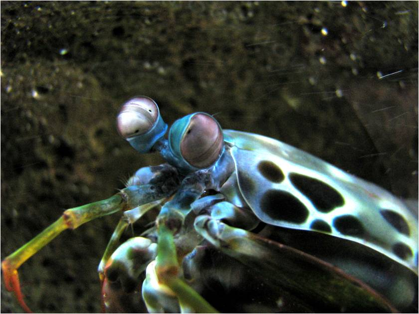 Beasts in a Populous City: I\'ve Got a Mantis Shrimp and I\'m Not ...