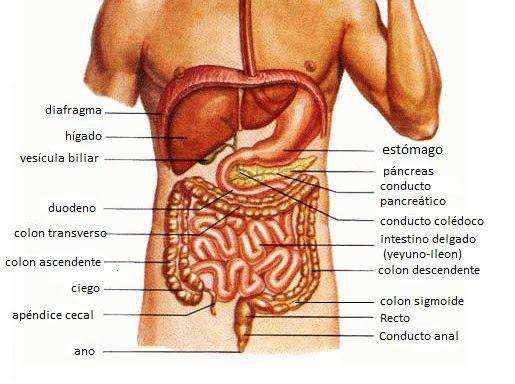 El rincon de la salud viaje digestivo 2 for En k parte del cuerpo esta el higado