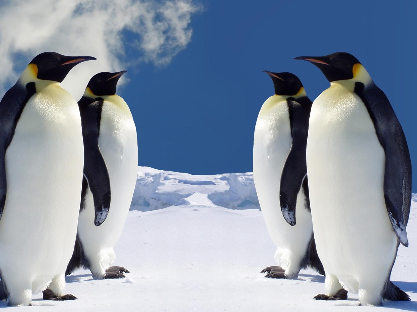 http://1.bp.blogspot.com/_sz2fJjO1XW8/TMgvroO1IwI/AAAAAAAAGxA/aBqY4bViCnc/s1600/hq-penguins-wallpaper-1600x1200-0906.jpg