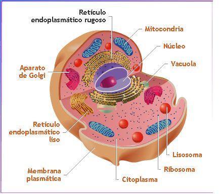 celula animal y sus partes. celula vegetal partes. celula