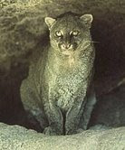jaguarundi Guest Post: Costa Rican Wild Cats