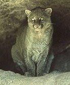 jaguarundi Guest Post: Costa Rican Wild Cats