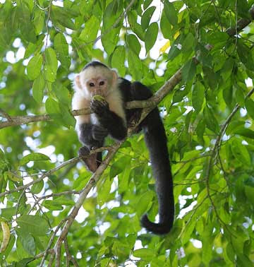 endangered species the panamanian spider monkey The ornate spider monkey (ateles geoffroyi ornatus), is a subspecies of  geoffroy's spider monkey, a type of new world monkey, from central america,  native to costa rica and panama  iucn red list of threatened species  version 20112    monkey/586.