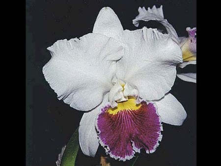 "LC. MILDRED RIVES ""ORCHIDGLADE"""