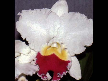 "LC. MIKKY NAGATA ""ORCHIDLIBRARY"""