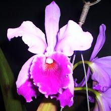 Catleya Labiata trilabelo / labeloide