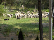 Nomadic sheep and sheepdogs