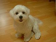 maltese adalah jenis anjing kecil dalam kategori anjing mainan toys