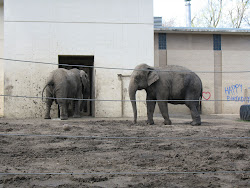 Tembo and Sunda in their barren cage at the Zoo