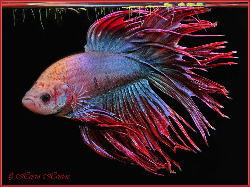 Ikan pelaga the fighting fish crown tailed betta for Crowntail betta fish