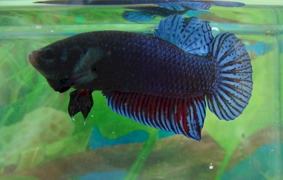 IKAN PELAGA THE FIGHTING FISH: SIAMESE PLAKAT