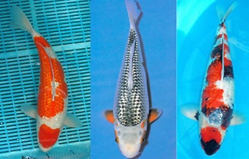 Japan koi carp for Koi fish scales