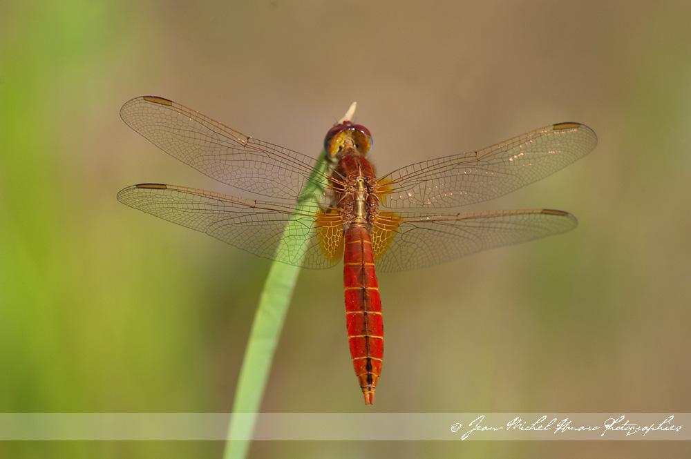 J 39 ai attrap un coup de soleil libellules rhodaniennes - Chanson j ai attrape un coup de soleil ...