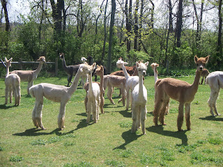 Shearing Day at Alpaca Meadows