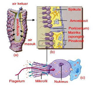 Ciri-ciri filum porifera