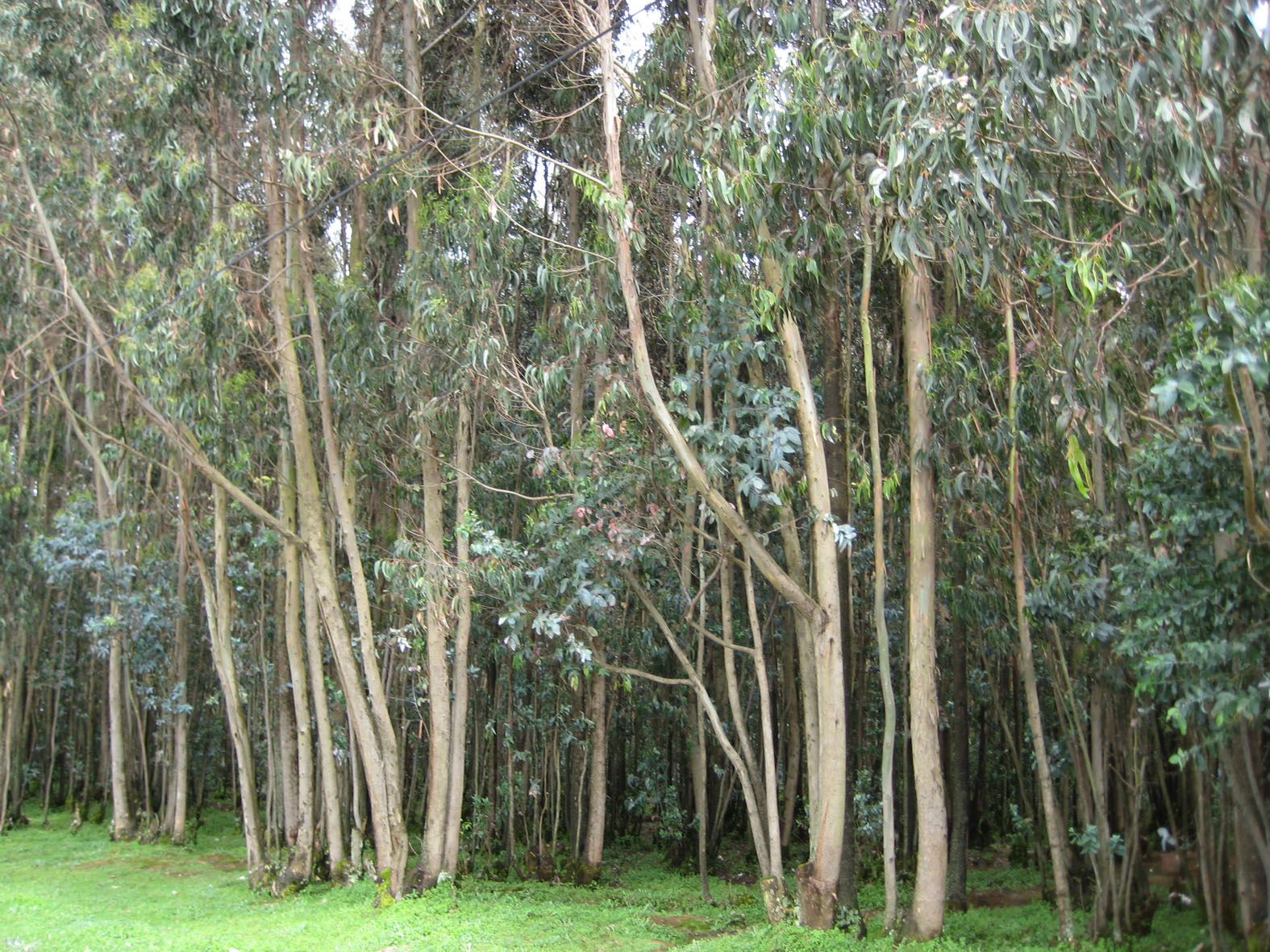 Eucalipto y eucalipteros el eucalipto es capaz de - Informacion sobre el eucalipto ...