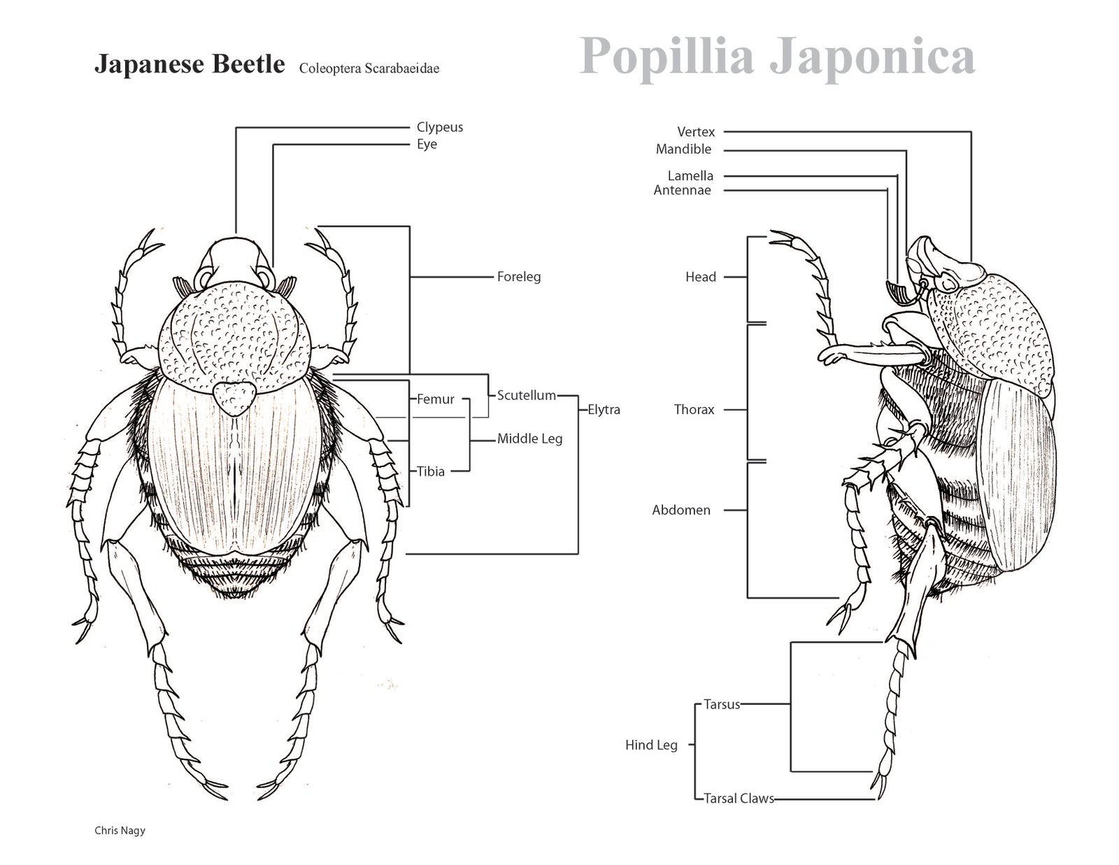 Diagram Of A June Bug - Schematic Wiring Diagram •