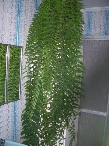 PlantaSonya Como cultivar Samambaia  Nephrolepis Polypodium