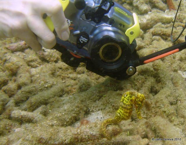 Seahorse Guadeloupe