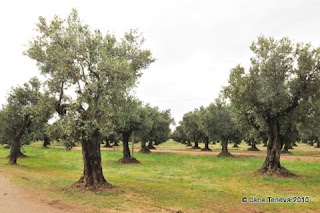 Calabria olive trees