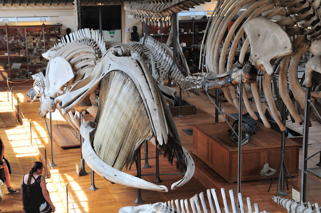skeletons whales National Museum of Natural History Musée national d'Histoire naturelle Paris