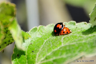 Ladybugs making love