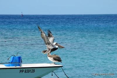 Brown pelicans Les Saintes Guadeloupe