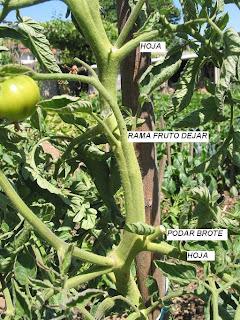 podar tomates