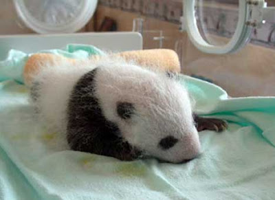 Baby pandas, born ,very small,